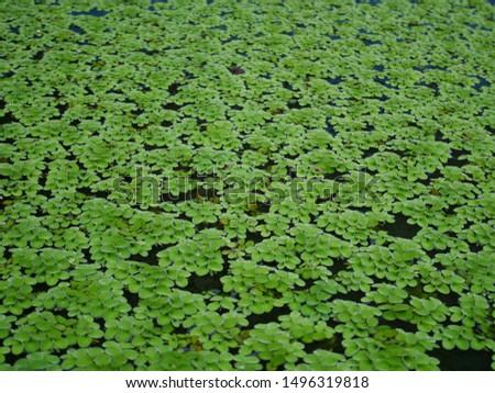 Green plant background, aquatic plant, water leaf #1496319818