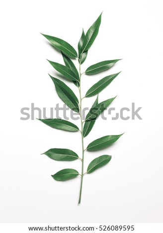 Green plant branch willow leafs stem isolated on a white background