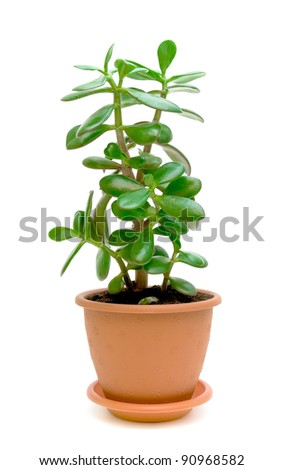 Green plant (Crassula) in a flower pot isolated on white background - stock photo