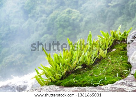 Green plant fern growing on moss on the rock stone in the cliff high waterfall stream and forest tree background
