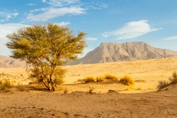 Green plant in the Sahara desert. Saharan Cypress or Tarout (Cupressus dupreziana),   very rare coniferous tree Tadrart region, Tassili n'Ajjer National Park,  Sahara, Algeria, North Africa.