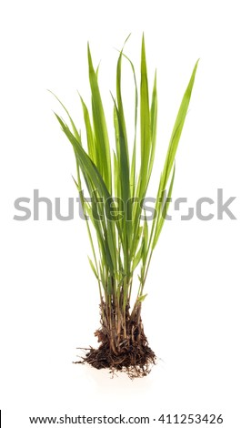 green plant on a white background #411253426