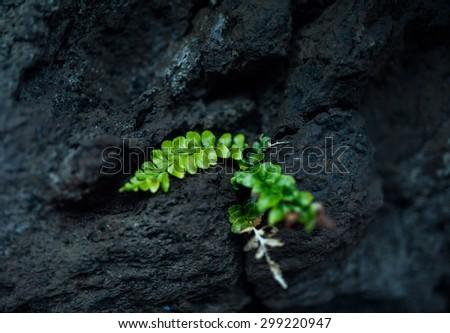 green plant on the black rock, Green fern plant on black lava field