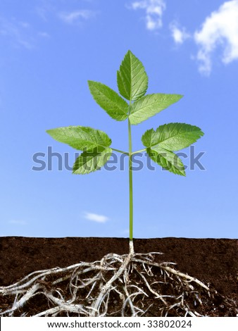 Green plant with divaricate root system over blue sky. #33802024