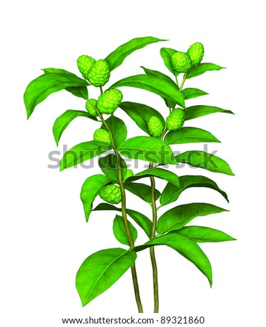 Green plant with fruit and seed - stock photo