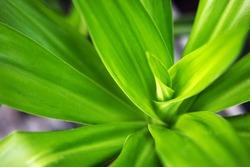 Green plant yukka nature fresh spring texture background growing leaf grass