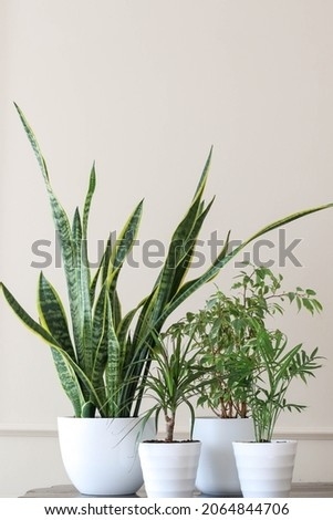 Green plants in white pots in the room. Modern home garden composition. Stylish and minimalistic interior in the style of an urban jungle. Home decor botany with many plants.