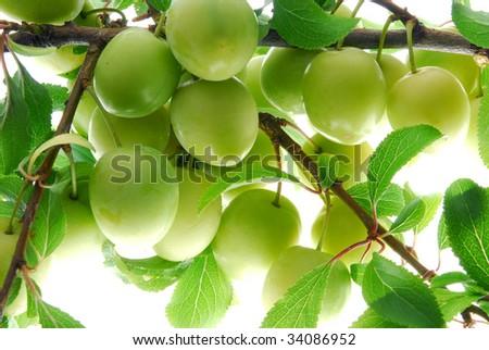 green plum #34086952