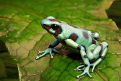 green poison arrow frog, Dendrobates auratus from the tropical rainforest of central America, Panama and Costa Rica