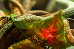 Green poisonous snake, head of asian palm pit viper trimeresurus and yellow eyes disguised in stones