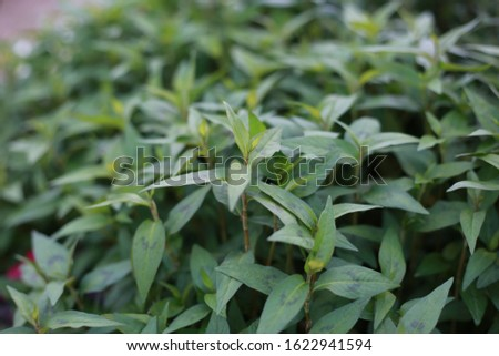 green Polygonum odoratum Lour organic vegetable