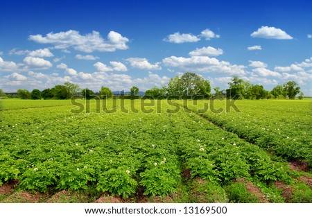 Green potatoes field end blue sky