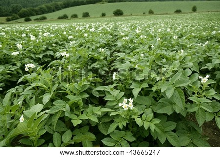 Green potatoes field in flowers on a summer afternoon