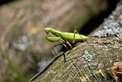 Green Praying Mantis in natural wooden environment