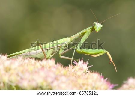 green  praying mantis on flower / Mantis religiosa Foto stock ©