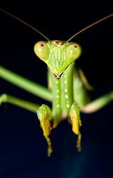 Green praying mantis with dark background