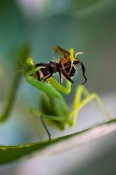 Green praying mantis with prey. Macro photo. Insect hunter. The praying mantis eats its prey. Praying mantis on green leaves. Praying mantis eats a bee. Prey insect prey