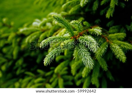 green prickly branches of a fur-tree or pine #59992642