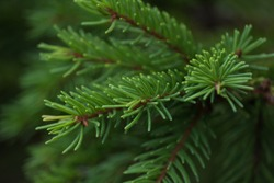 Green prickly branches of a fur-tree or pine. Fluffy fir tree branch close up. background blur