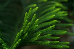 Green prickly branches of a fur-tree or pine leaf. Christmas tree, araucaria tree or monkey puzzle tree for christmas celebration. Christmas tree is used to put balls, lights and gifts for decoration.