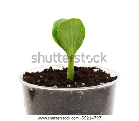 Green pumpkin sprout in the pot isolated