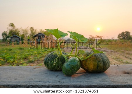 green pumpkins on wooden table beside agriculture garden in the evening sunset.  #1321374851