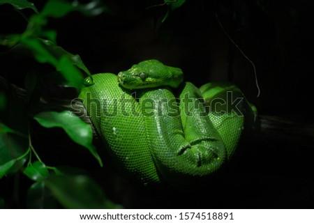 Green python (Southeast Asia). Southeast Asia
