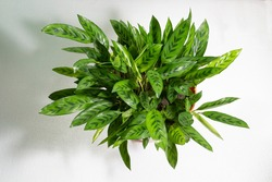 Green rattlesnake plant leaves or Calathea lancifolia - species of flowering plant in Marantaceae family, native to Brazil. Evergreen perennial with slender leaves, marked above with dark blotches.