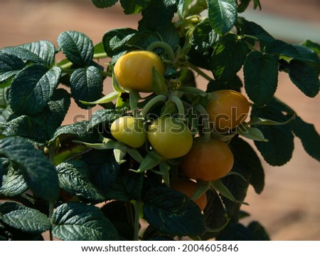 Green raw Rose Hip or Rosehip, also called Rose Haw and Rose Hep. Fruit of the rose plant. Stock photo ©