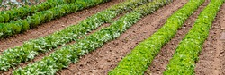Green red leaf lettuce on garden bed. Gardening background with many lettuce green plants. Lactuca sativa green leaves, closeup. Leaf Lettuce plantation, banner