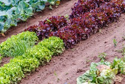 Green red leaf lettuce on garden bed. Gardening background with many lettuce green plants, top view. Lactuca sativa green leaves, closeup. Leaf Lettuce plantation, top view