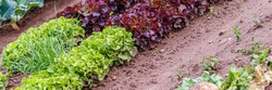 Green red leaf lettuce on garden bed. Gardening background with many lettuce green plants, top view. Lactuca sativa green leaves, closeup. Leaf Lettuce plantation, banner