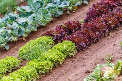 Green red leaf lettuce on garden bed in field. Gardening  background with many lettuce green plants, top view. Lactuca sativa green leaves, closeup. Leaf Lettuce plantation, top view