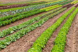 Green red leaf lettuce on garden bed in vegetable field. Gardening  background with many lettuce plants. Lactuca sativa green leaves, closeup. Leaf Lettuce plantation