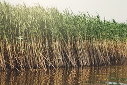 Green reed growing in water, bed of rushes reflecting in lake, nature background