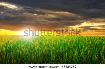 green rice field and beautiful sunset #63684289
