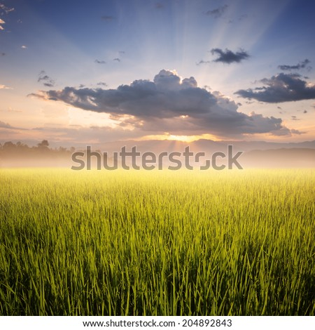 Green rice field and sunset  #204892843