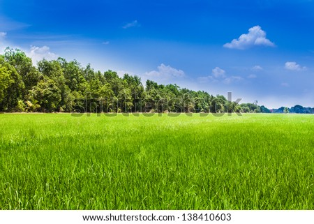 Green rice field in the sunny day with blue sky