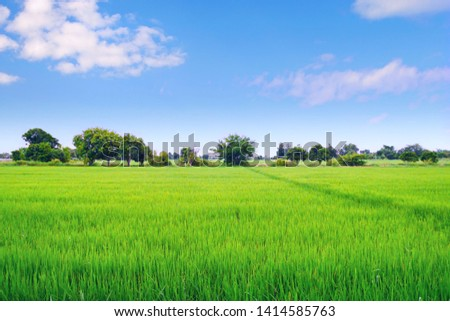 Green Rice field with blue sky background #1414585763