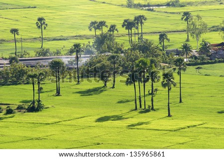 Green rice field with Palmyra palm in Chiang mai, Thailand