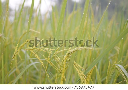 Green rice fields #736975477