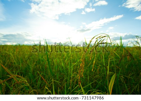 Green Rice fields,Beautiful views landscapes in thailand. #731147986