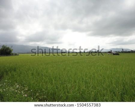 Green rice fields filled the fields.