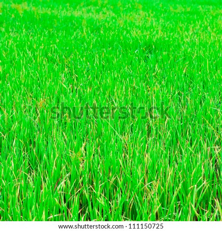 Green rice fields in North-Eastern Highlands of Thailand