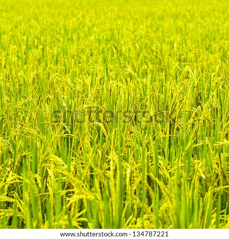 Green rice fields in Northern Highlands of Thailand South East Asia [Square Size]