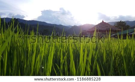 Green Rice growing at Ban Mae Klang Luang (Chom Thong, Chiang Mai/ North of Thailand) #1186885228