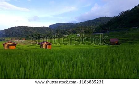 Green Rice growing at Ban Mae Klang Luang (Chom Thong, Chiang Mai/ North of Thailand) #1186885231