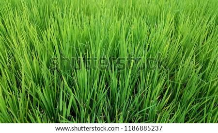 Green Rice growing at Ban Mae Klang Luang (Chom Thong, Chiang Mai/ North of Thailand) #1186885237