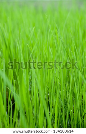 Green rice shoot growing in the water  field,China Asia