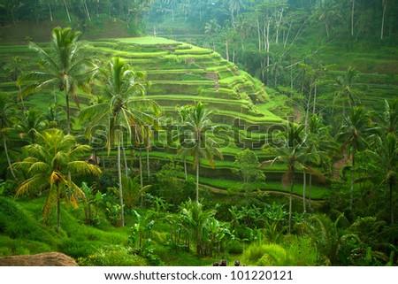 Green rice terraces in Bali island, Indonesia